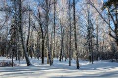 Arboleda del abedul en invierno Día claro soleado Imagen de archivo