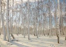 Arboleda del abedul en invierno debajo de la nieve en un día claro Foto de archivo libre de regalías