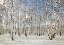 Arboleda del abedul en invierno debajo de la nieve en un día claro Imagen de archivo libre de regalías