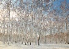 Arboleda del abedul en invierno debajo de la nieve en un día claro Fotografía de archivo libre de regalías