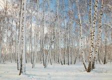 Arboleda del abedul en invierno debajo de la nieve en un día claro Foto de archivo