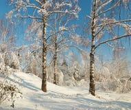Arboleda del abedul en invierno debajo de la nieve en un día claro Imagenes de archivo