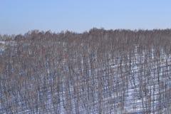 Arboleda del abedul en invierno Fondo Foto de archivo libre de regalías