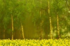 Arboleda del abedul en la niebla de la mañana Fotos de archivo libres de regalías