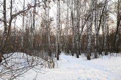Arboleda del abedul en la nieve Foto de archivo