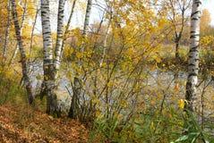 Arboleda del abedul en la orilla del lago del lago del bosque Imagen de archivo