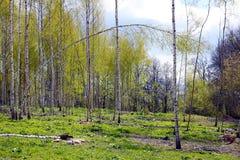 Arboleda del abedul en la primavera Foto de archivo libre de regalías
