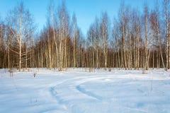 Arboleda del abedul en los rayos del sol del invierno Imagenes de archivo