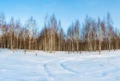 Arboleda del abedul en los rayos del sol del invierno Fotos de archivo