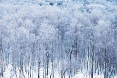 Arboleda del abedul en nieve por mañana fría del invierno Imagen de archivo libre de regalías