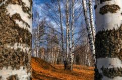 Arboleda del abedul en otoño Fotografía de archivo libre de regalías