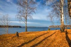 Arboleda del abedul en otoño Foto de archivo