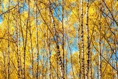 Arboleda del abedul en otoño de oro Fotografía de archivo