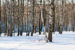 Arboleda del abedul en un día de invierno soleado Imagenes de archivo