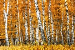 Arboleda del abedul en un día soleado del otoño Foto de archivo libre de regalías