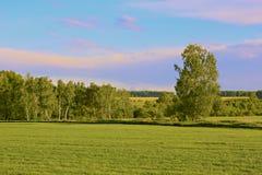 Arboleda del abedul en un prado verde en primavera Imagen de archivo