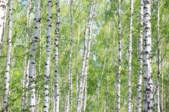 Arboleda del abedul en verano con los troncos blancos hermosos de abedules Imagen de archivo libre de regalías
