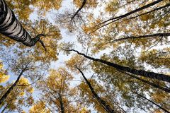 Arboleda del abedul a finales del otoño Imagenes de archivo
