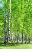 Arboleda del abedul, hojas verdes claras Fotos de archivo libres de regalías