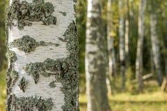 Arboleda del abedul Imagen del tronco de árbol, primer Imagenes de archivo