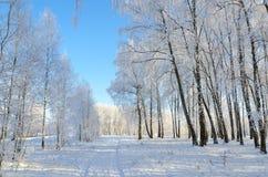 Arboleda del abedul del invierno en escarcha el día soleado, landscap hermoso Foto de archivo