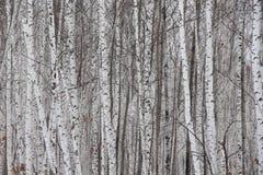 Arboleda del abedul del invierno en los troncos de la nieve/de árbol de abedul en el bosque/ Fotos de archivo