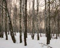 Arboleda del abedul Nevado, un paisaje hermoso del invierno Fotos de archivo libres de regalías