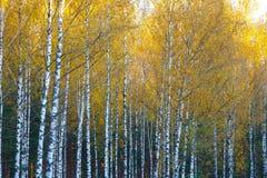 Arboleda del abedul, otoño, hojas del amarillo Paisaje, naturaleza n Fotografía de archivo