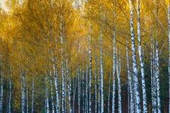 Arboleda del abedul, otoño, hojas del amarillo Paisaje, naturaleza n Fotos de archivo