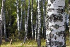 Arboleda del abedul Primer del tronco de árbol Rusia Foto de archivo libre de regalías