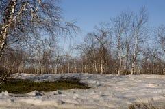 Arboleda del abedul y cielo azul en primavera temprana Imagenes de archivo
