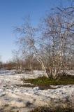 Arboleda del abedul y cielo azul en primavera temprana Fotos de archivo libres de regalías