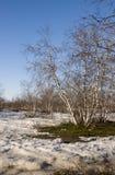 Arboleda del abedul y cielo azul en primavera temprana Foto de archivo