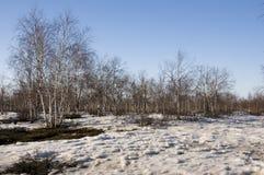 Arboleda del abedul y cielo azul en primavera temprana Foto de archivo libre de regalías