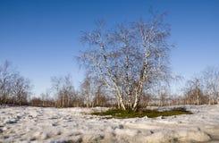 Arboleda del abedul y cielo azul en primavera temprana Fotografía de archivo libre de regalías
