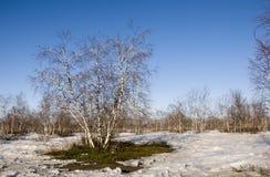 Arboleda del abedul y cielo azul en primavera temprana Fotos de archivo