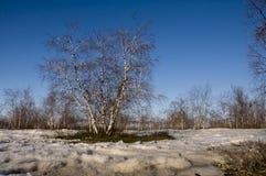 Arboleda del abedul y cielo azul en primavera temprana Imagen de archivo libre de regalías