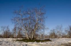 Arboleda del abedul y cielo azul en primavera temprana Imágenes de archivo libres de regalías