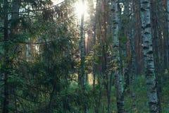 Arboleda del bosque en la puesta del sol Imágenes de archivo libres de regalías
