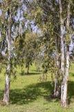 Arboleda del eucalipto Imagen de archivo libre de regalías