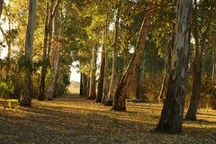 Arboleda del eucalipto con el sol de la puesta del sol en otoño fotos de archivo