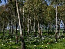 Arboleda del eucalipto con las anémonas florecientes foto de archivo libre de regalías