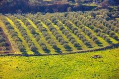 Arboleda del olivo Foto de archivo libre de regalías