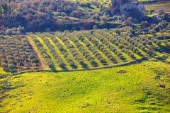 Arboleda del olivo Fotos de archivo