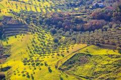 Arboleda del olivo Fotografía de archivo libre de regalías