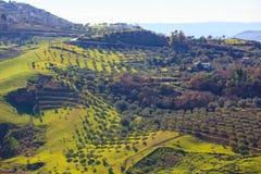 Arboleda del olivo Imagenes de archivo