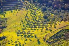 Arboleda del olivo Fotografía de archivo