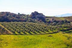 Arboleda del olivo Fotos de archivo libres de regalías