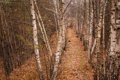 Arboleda del otoño de abedules jovenes y de árboles spruce Imagenes de archivo