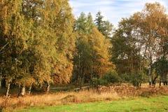 Arboleda del otoño. Mañana en birchwood del â del bosque. Fotografía de archivo